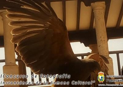 Águila Harris en Fuensanta