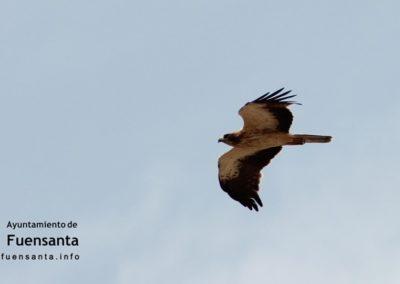 Aguila Calzada Sobrevolando Fuensanta